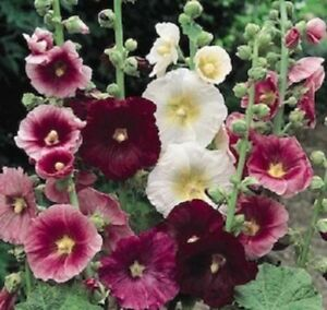 50-Seeds-Hollyhock-Indian-Spring-Holly-Hock-Seeds-Perennial