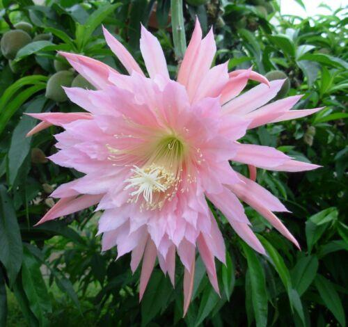 EPIPHYLLUM PINK PLUMES 4 graines Cactus Orchidée H479 ORCHID CACTUS SEEDS SAMEN