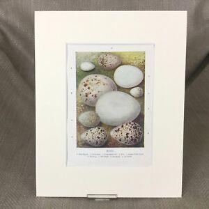 Antico Stampa Uccelli Uova Egg Raccolta Identificazione Tipi Ca 1895