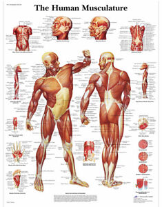 Educational-Human-Muscle-Musculature-Poster-Prints-Medical-Leaning-13-034-x-19-034