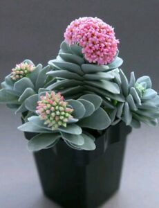 CRASSULA-MORGAN-039-S-BEAUTY-planta-suculenta-suculent-plant