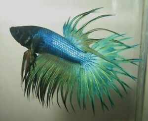 Blue Turquoise Crowntail Live Male Betta Fish