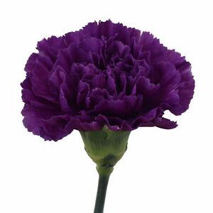 GAROFANO DOPPIO VIOLETTO 30 semi semi di Dianthus