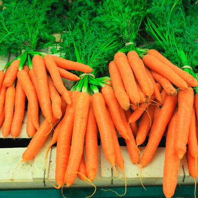 Seeds Carrot «Moscow winter A 515» Vegetable Organic  Russian GAVRISH