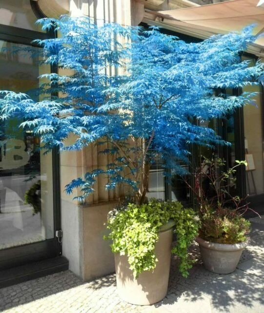 25 Blue Japanese Maple Tree Bonsai Seeds Heirloom Rare colorful lawn plant