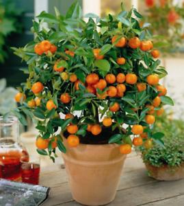 Citrus Mandarin Orange Fruit Tree Seeds Edible Fruit Mandarin Tree Seed 20 Pcs