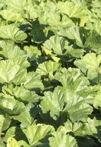 RéAliste Seedeo ® Légumes Mauve Chinois (malva Verticillata) 200 Graines Bio-afficher Le Titre D'origine