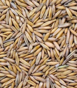 Avena-sativa-seed-for-Deer-Turkey-Food-Plot-Wildlife-Oatgrass-Bulk-USPS-SHIPPING