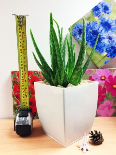 1 Evergreen Aloe Vera Natural House Indoor Office Plant Gloss White Milano Pot