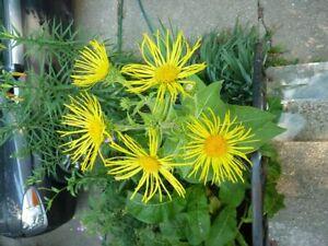 DéTerminé L'inula Orientalis Grandiflora Géorgien Vergerolle 9 Cm Pot Veuillez Lire Description-afficher Le Titre D'origine