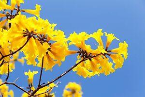 der Trompetenbaum gelbe trompetenartigen Blüten Saatgut Samen Sämereien