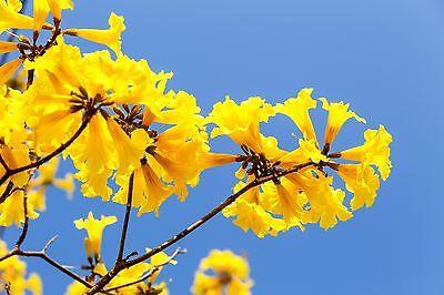 Bescheiden Eine Wunderschöne Gartenpflanze Mit Imposanten Gelben Blüten: Der Trompetenbaum Lange Levensduur