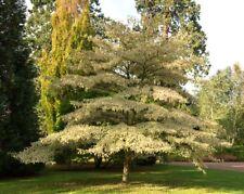 tall Cornus controversa Variegata in 7.5L pot Wedding cake tree 125cm