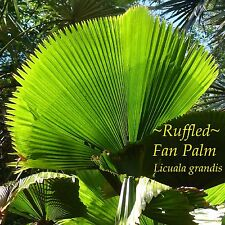~LICUALA GRANDIS~ Ruffled Fan Palm Circular Leaf Vanuatu Sml Pot'd Palm Seedling