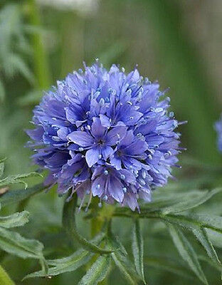 1500 GLOBE GILIA Capitata Flower Seeds + Gift & CombS/H