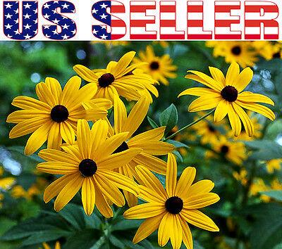 1000+ Black-Eyed Susan Rudbeckia Hirta Seeds Yellow Flower Gloriosa Daisy