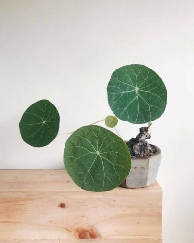 Stephania erecta Craib 1 Bulbs 7 Cm Bonsai Succulent Indoor Plant Cute No 105