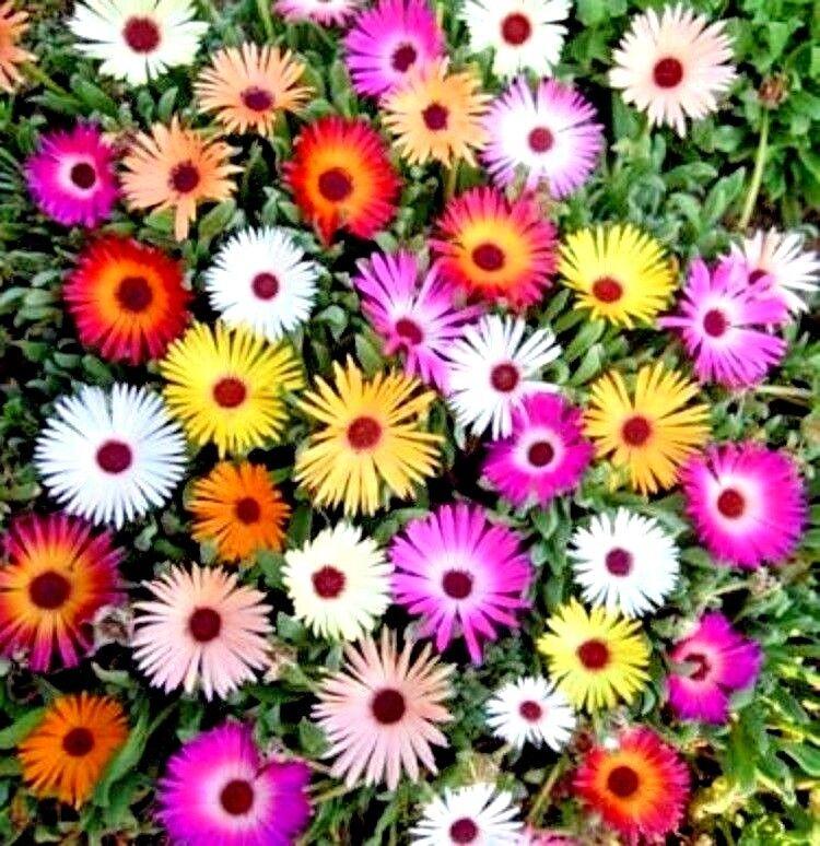 Flower - Mesembryanthemum Harlequin - appx 1800 seeds - Livingstone Daisy