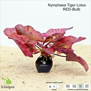 Red-Tiger-Lotus-Bulb-Nymphaea-Live-Aquarium-Plant-Tropical-Lily-Fry-Betta-Water