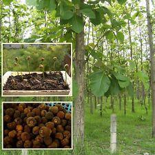 Teak 20 seeds,Teak Tree, Tectona grandis, Tik, Tropical hardwood, Tree Rare Thai
