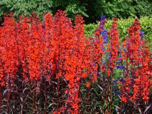"Plant in 3.5/"" Pot Lobelia cardinalis Queen Victoria Cardinal Flower"