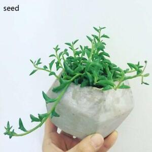 DOLPHIN-NECKLACE-String-of-Dolphins-Senecio-Peregrinus-Succulent-Plant