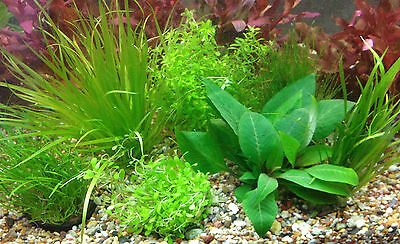 Foreground Aquarium Aquatic Tropical Plants Tenellus Glosso Hairgrass & MORE