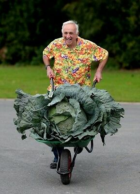 CAVOLO GIGANTE - GIANT CABBAGE, 100 HIGH QUALITY SEEDS