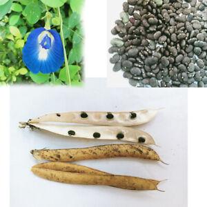 Clitoria Ternatea - Blue Butterfly Pea 50/100 Seeds Vine 100% New Organic Ceylon
