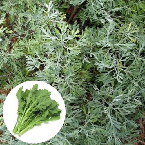 500 Stücke Wermut Absinth Samen Artemisia Moskito Schädlinge Abweisend
