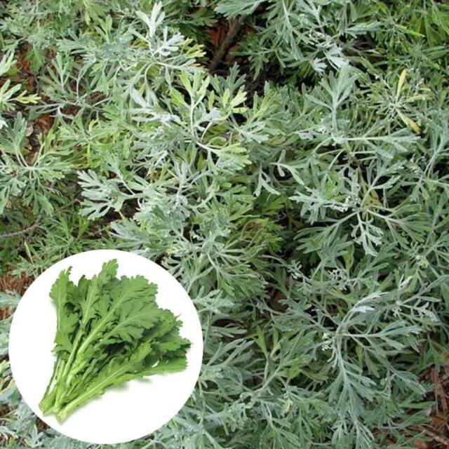 500 Pcs Wormwood Absinthe Seeds Artemisia Absinthium Mosquito Pests Repelle T6E5