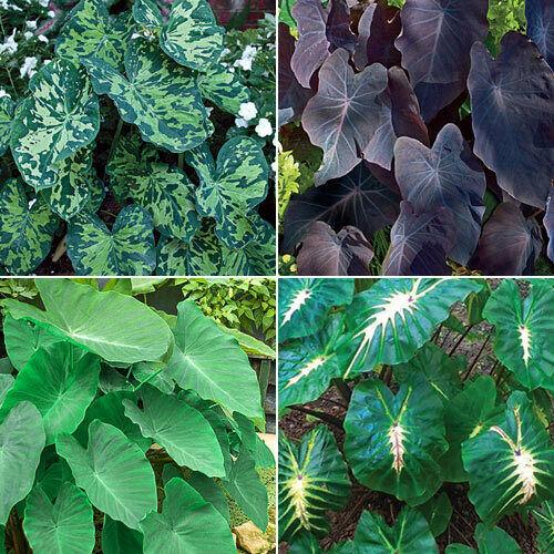 Elephant Ears Bulbs Collection Perennial Fluffy Alocasia Calidora  Plant Garden