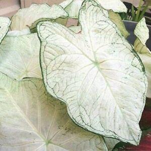 White Caladium Elephant Ear Bulbs Perennial Plant Tropical
