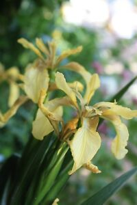 Iris-foetidissima-yellow-plants-bare-rooted-10