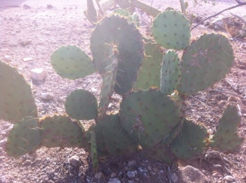 Cuttings 3 Pads Texas Prickly Pear Cactus