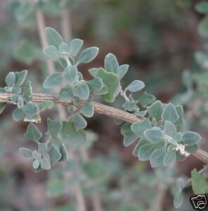 River-Swamp-Saltbush-Seed-Fodder-Silver-Foliage-Shrub-Evergreen