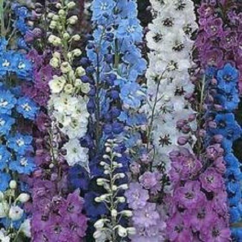 LONG LASTING ANNUAL 35 CONNECTICUT YANKEE DELPHINIUM FLOWER SEEDS MIX