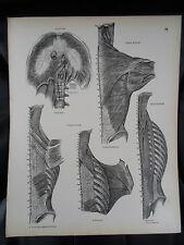 #29 Rare Vintage Old Print From Descriptive Atlas of Anatomy 1880  Medical Retro