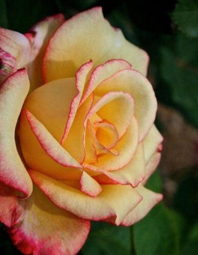 """/""""50  Rose Rosen Samen Yellow Pink Seeds Gothic Gardenin/"""""""