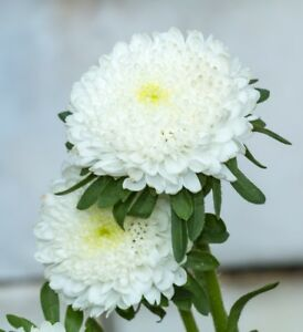 Seeds White Chinese Princess Aster