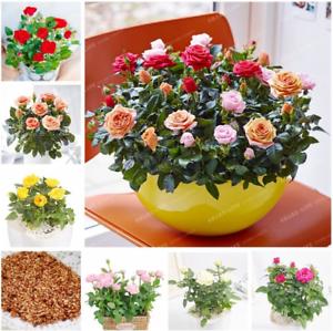 100-Pcs-Seeds-Rose-Bonsai-Mini-Flowers-Natural-Growth-Pot-Plants-Home-Garden-H-R