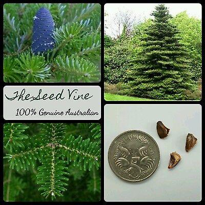 Christmas Tree Seeds.20 Korean Fir Tree Seeds Abies Koreana Pine Hardy Christmas Season Bonsai Ebay