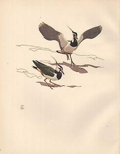 Vintage-Imprime-Oiseau-Pirlouit-Courtships-Vanneau