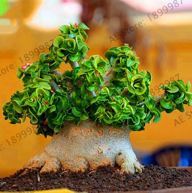 1 Pcs Seeds Rare Desert Rose Thailand Adenium Obesum Plants Flowers Bonsai 2019 For Sale Online