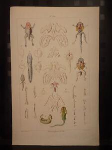 M-Gravure-couleurs-XIXe-Metamorphose-Pl-VIII-Histoire-Nat-Antique-print