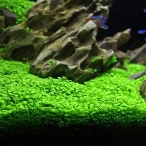 New Aquarium Plant Seeds Aquatic Double Leaf Carpet Water Grass Fish Tank Decor