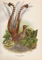 LYRE BIRD ILLUSTRATED AXEL AMUCHASTEGUI VINTAGE BOOK PRINT