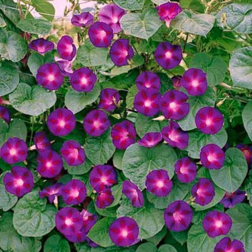 Morning Glory Seeds Grandpa Ott Climbing Vine Heirloom Flower Non-Gmo 75 Ct
