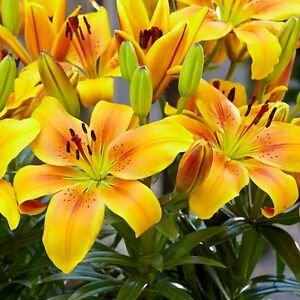 Golden joy asiatic lily 5 bulbs pots and planterscut flowers image is loading golden joy asiatic lily 5 bulbs pots and mightylinksfo