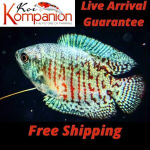 3/5/10X Assorted Dwarf Gourami Beginner Aquarium Koi Kompanion